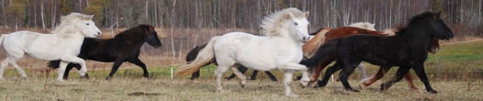 Riiby Gård Islandshästar